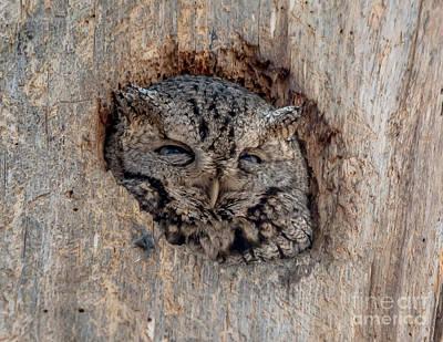 Photograph - Peeking Screech by Cheryl Baxter