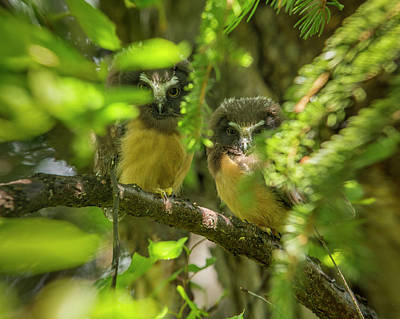Northern Saw-whet Owl Photograph - Peeking Through The Branches by Tim Grams