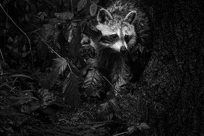 Photograph - Peeking Through The Poison Ivy Mommy Raccoon Black And White by Mother Nature