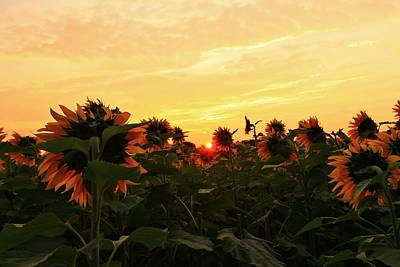Photograph - Peeking Throught The Sunflowers by Catie Canetti