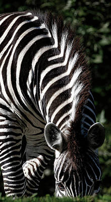 Photograph - Peeking Zebra by Wes and Dotty Weber