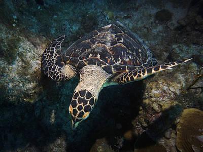 Photograph - Peering Hawksbill Turtle by Jean Noren
