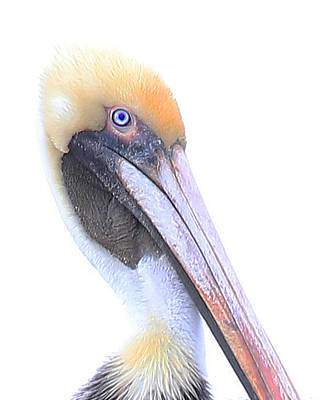 Wall Art - Photograph - Peering Pelican by Diana Marcoux