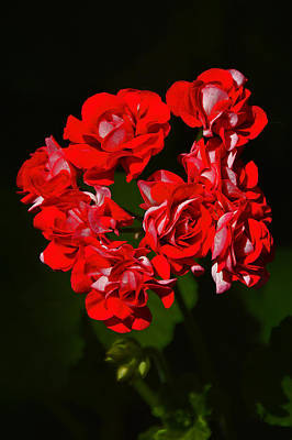 Pelargonium Zonale. Red And Black. Original by Andy Za