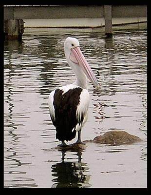 Photograph - Pelican 3 by Elisabeth Dubois