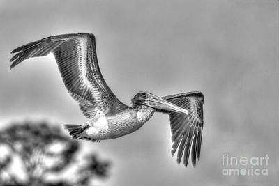 Photograph - Pelican-4443 Bnw by Tommy Patterson