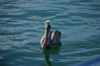 Photograph - Pelican Afloat by Denise Mazzocco