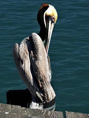 Photograph - Pelican by Alex Galkin
