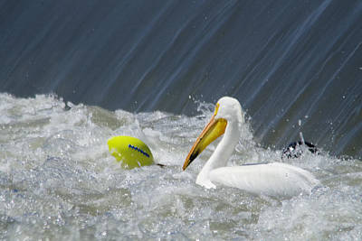 Pelican And A Football Art Print by Jeff Swan
