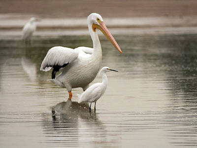 Photograph - Pelican And Snowy Egret 6459-113017-1cr by Tam Ryan