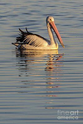 Photograph - Pelican At Sunset 1 by Werner Padarin