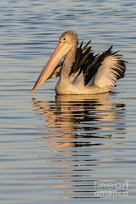 Photograph - Pelican At Sunset 2 by Werner Padarin