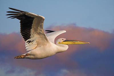 Pelican Art Print by Basie Van Zyl