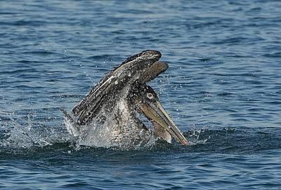 Photograph - Pelican Bathing Series 4 by Fraida Gutovich