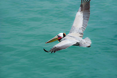 Photograph - Pelican Beautiful by Windy Osborn