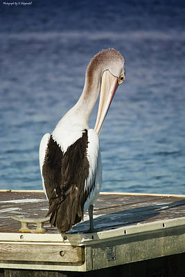 Digital Art - Pelican Beauty 9000 by Kevin Chippindall