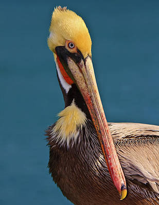 Photograph - Pelican by Beth Sargent
