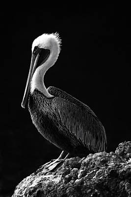Photograph - Pelican Black And White by Mark Kiver
