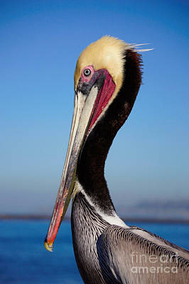 Photograph - Pelican  by Bob Brents