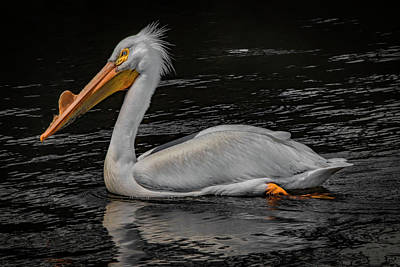 Photograph - Pelican Briefly  by Ray Congrove