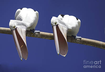 School Teaching - Pelican burp by Sheila Smart Fine Art Photography