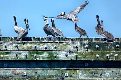 Photograph - Pelican Caucus by Sadie Reneau