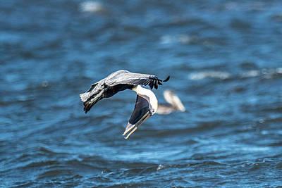 Bif Photograph - Pelican Checking His Six by Paul Freidlund