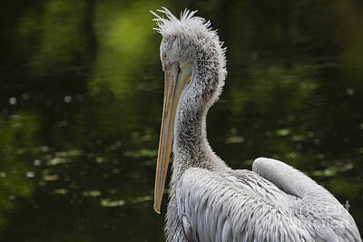 Photograph - Pelican Bad Hair Day by Clare Bambers