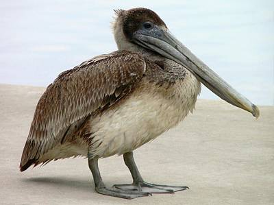 Pelican Close-up Art Print by Al Powell Photography USA