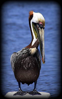 Photograph - Pelican Colors by Sheri McLeroy