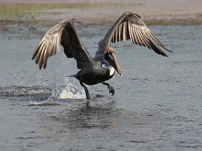Photograph - Pelican Dance by Art Cole