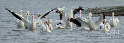 Photograph - Pelican Dance by E B Schmidt