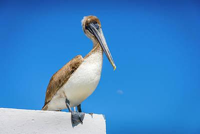 Photograph - Pelican by Daniel Murphy