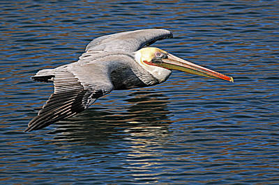 Photograph - Pelican by Diana Douglass