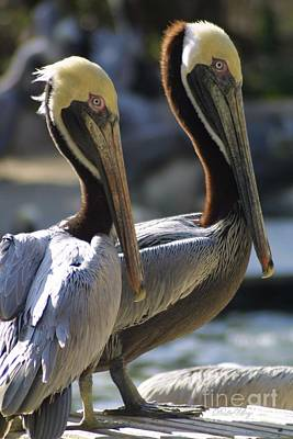 Photograph - Pelican Duo by Dodie Ulery