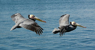 Photograph - Pelican Duo by Fraida Gutovich
