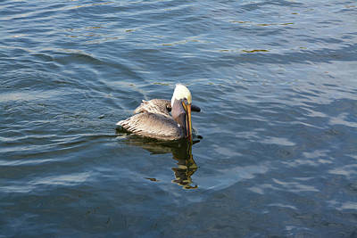 Photograph - Pelican Eating Dinner by Aimee L Maher Photography and Art Visit ALMGallerydotcom