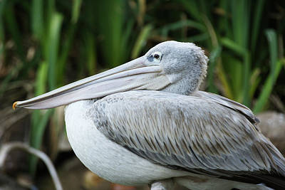 Photograph - Pelican by Eric Foltz