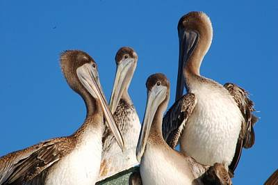 Photograph - Pelican Family by Michael Raiman