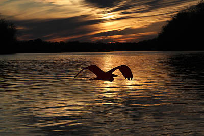 Photograph - Blue Heron Flight At Sunset by Ericamaxine Price