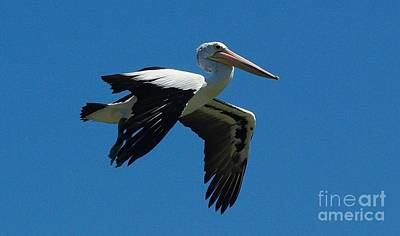 Photograph - Pelican Flight by Blair Stuart