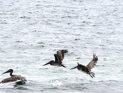 Photograph - Pelican Flight Of Three   by Chris Mercer