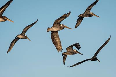 Photograph - Pelican Flight by Robert Potts