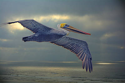 Photograph - Pelican Flight by Theresa Pausch