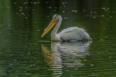 Photograph - Pelican Float by Yeates Photography