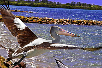 Photograph - Pelican Flying Away by Miroslava Jurcik