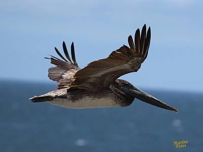Pelican Flying Wings Up  Art Print