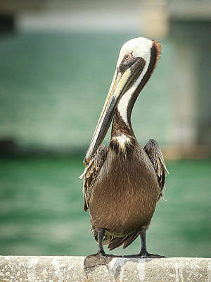 Photograph - Pelican Full Length Portrait by Joni Eskridge