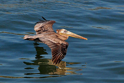 Photograph - Pelican Glide by Jim Walls PhotoArtist