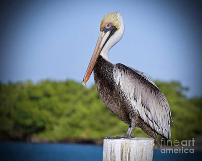 Photograph - Pelican Harbour by Judy Kay